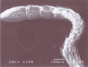 ミクロの世界 蟻(触覚)