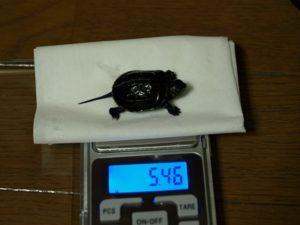 子ガメ体重測定 5.46g