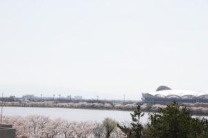 科学館から見た桜