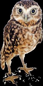 アナホリフクロウの写真