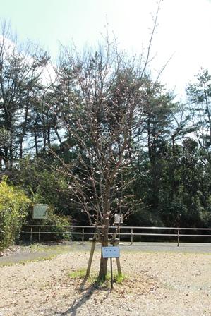 宇宙桜の木