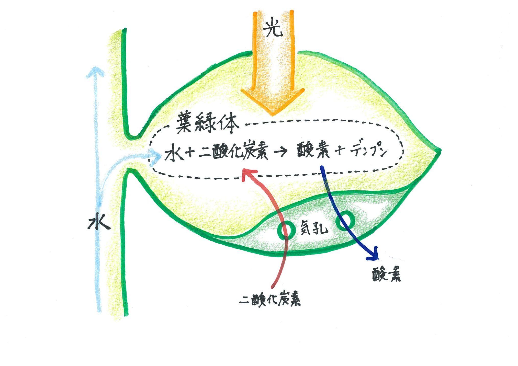 光合成の仕組み(イラスト)