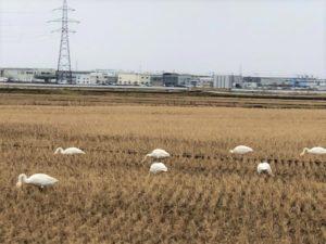 田んぼにいる白鳥①